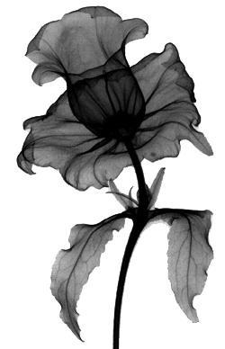 stereo floral radiograph by albert g richards