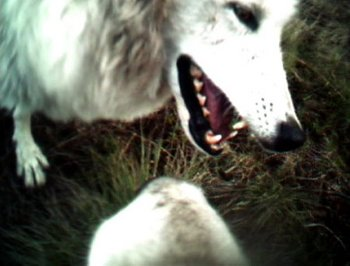 timber wolf confrontation
