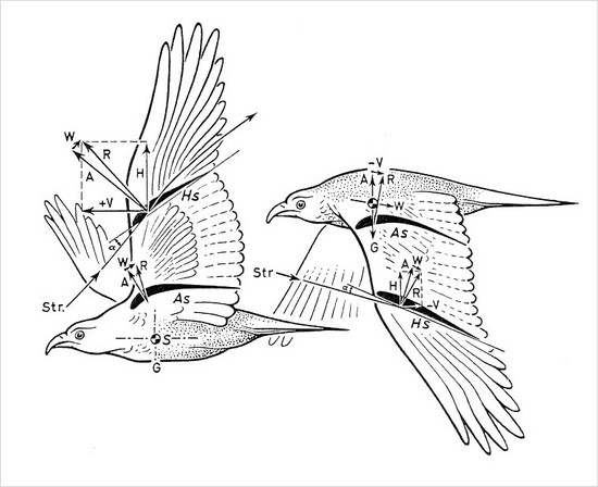 from biophysics of the bird flightby karl herzog