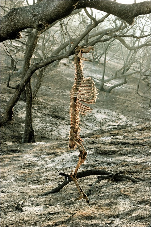 animal skeleton in post-fire griffith park