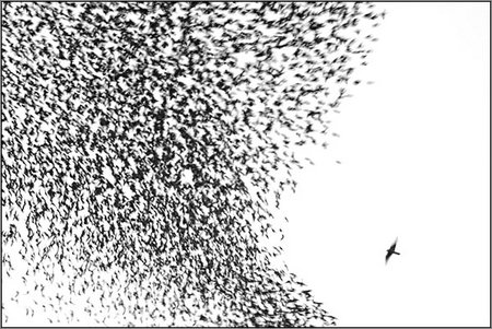 starlings flee a peregrine falcon